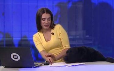 Qeni e tmerron moderatoren e lajmeve gjatë transmetimit live (Video)