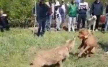 Banorët torturojnë ujkun (Video)