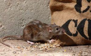 Virusi vdekjeprurës 'Machupo' buron nga brejtësit e infektuar
